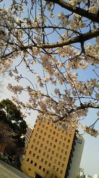 20120402福岡のさくらは満開だ.JPG